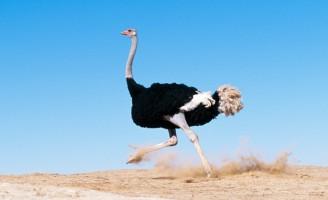 Avestruz: a criação consciente