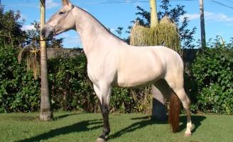 Cavalo Campolina é destaque em feira nacional