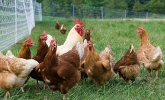 O frango de corte ecológico