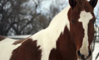 Paint Horse, o cavalo do índio encanta o mundo
