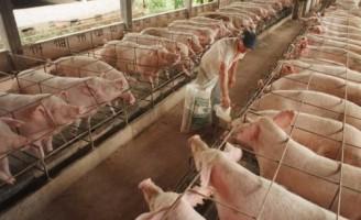 Composição da ração para suínos exige cuidados com o rolão de milho e restos de abatedouros
