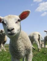 Identificados os fatores que podem aumentar a verminose no rebanho ovino