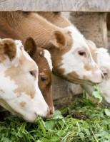 Como fazer uma ração mais barata para alimentar o gado no período de seca