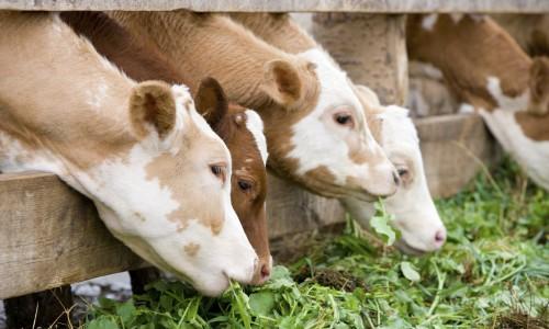 """<h2><a href=""""http://nordesterural.com.br/como-fazer-uma-racao-mais-barata-para-alimentar-o-gado-no-periodo-de-seca/"""">Como fazer uma ração mais barata para alimentar o gado no período de seca</a></h2>O gado precisa de um mínimo de 6% de proteína bruta na alimentação diária para se manter saudável. Na época da chuva, o pasto nativo oferece de 6% a 8%"""