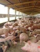 Controle e planejamento garantem o sucesso da criação de suínos