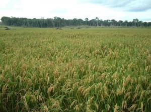 arroz de sequeiro