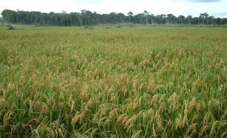 Para aprender a melhor hora de plantar o arroz de sequeiro