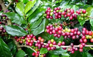 O controle de pragas nas plantações de café