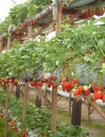 Tipo de cultivo ajuda a valorizar a produção de morangos