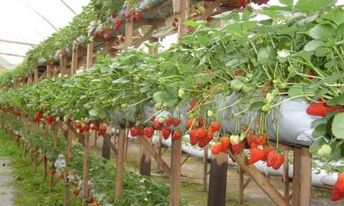 """<h2><a href=""""http://nordesterural.com.br/tipo-de-cultivo-ajuda-a-valorizar-a-producao-de-morangos/"""">Tipo de cultivo ajuda a valorizar a produção de morangos</a></h2>O morango, geralmente, é cultivado, principalmente, em pequenas propriedades e em reduzidas extensões, garantindo renda ao pequeno produtor ao gerar empregos diretos e indiretos, utilizando mão de obra familiar. A"""