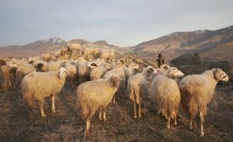 O Brasil ainda é deficitário na produção de carne de ovinos