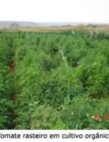Uma técnica para produzir tomate ecologicamente