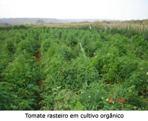 tomate_rasteiro orgânico
