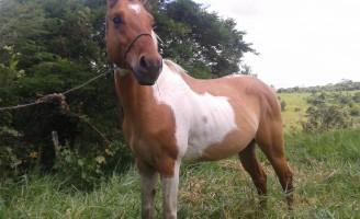 Feira Livre – Potro Paint Horse