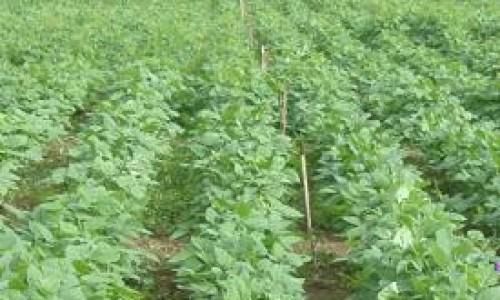"""<h2><a href=""""http://nordesterural.com.br/orientando-sobre-os-espacos-para-plantio-de-feijao/"""">Orientando sobre os espaços para plantio de feijão</a></h2>Combinando espaçamento e densidade de plantio, o produtor pode ter melhor controle do consumo de sementes e do surgimento de plantas daninhas. Além disso com o arranjo correto, pode diminuir"""