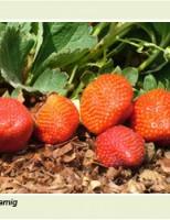 É possível cultivar e produzir morangos no semiárido brasileiro