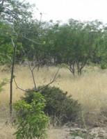 Plantas naturais da caatinga podem ser usadas como forragem para os animais