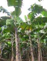 Aprenda a controlar a infestação de plantas daninhas nos plantios de banana