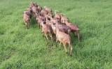Curso vai ensinar segredos sobre a carcaça de ovinos