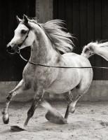 Um livro conta a história do cavalo árabe no Brasil e homenageia a associação da raça