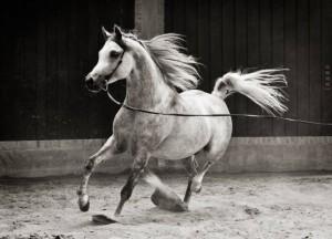 cavalo-arabe-cursos-cpt6