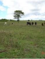 Otimizando a pastagem para o consórcio de ovinos e bovinos