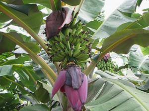foto banana