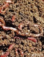 Agricultura familiar deve usar mais o húmus de minhoca para frutas e hortaliças