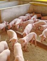 Um manejo simples para melhorar a produção de suínos