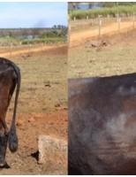 O que o produtor pode fazer para controlar a tuberculose em rebanhos bovinos