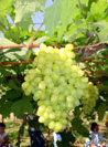 uva branca 3