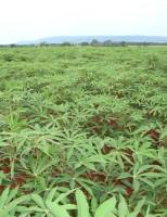 Melhor uso de ramos e folhas de mandioca na alimentação animal durante a seca