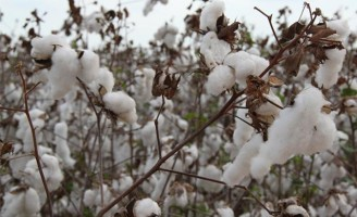 Solo duro e resistente provoca redução na produção de algodão
