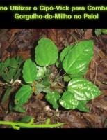 Planta nativa controla o ataque do gorgulho-do-milho