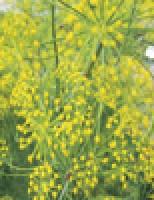 O pulgão da erva-doce pode ser combatido com sabão e detergente