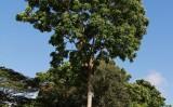 Para aprender a cultivar o mogno africano no Brasil