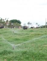 Pastagens irrigadas melhoram a produtividade do rebanho