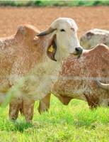 Um momento histórico para a bovinocultura nacional