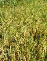 Novas sementes para o cultivo de arroz