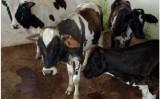 Os bezerros podem ser mais saudáveis quando a vaca é apartada mais cedo