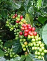 Brasil suspende negócios de café com o Peru