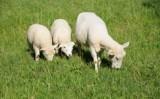 Aprendendo a cuidar das crias de ovinos o produtor tem mais benefícios
