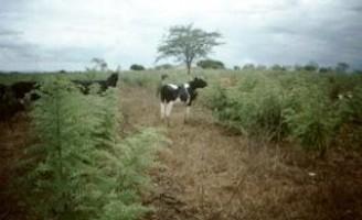 Pesquisadores recomendam técnica que pode melhorar a produção de leite no Semiárido