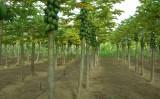 A plantação de mamão com bom controle de pragas pode ser muito rentável