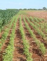 Como aumentar o teor de proteína na alimentação do rebanho na seca