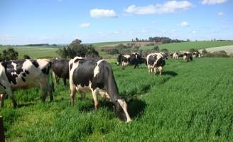 Manejo da pastagem aumenta a produtividades do rebanho leiteiro