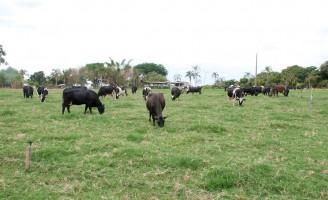 Produzir leite a pasto pode ser mais econômico e lucrativo