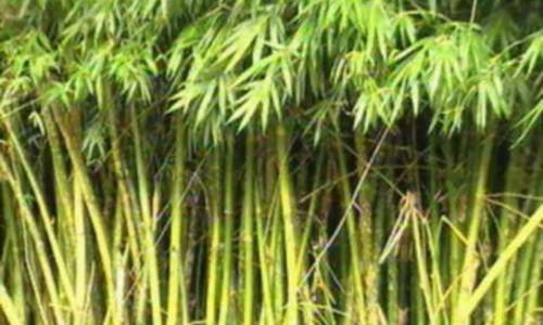"""<h2><a href=""""http://nordesterural.com.br/o-bambu-nativo-pode-ajudar-o-desmatamento-de-nossas-florestas/"""">O bambu nativo pode ajudar a reduzir o desmatamento de nossas florestas</a></h2>A cultura do bambu é uma realidade em várias regiões do mundo, particularmente no Oriente e em alguns países andinos, como a Colômbia e o Equador. Com a aprovação da"""