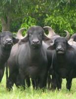 Búfalo bem selecionado pode garantir uma melhor produção de leite e carne