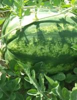Escolha a semente de melancia para plantar em terra firme